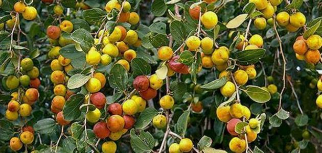 ذكرها النبي ( ص ) في حديثه .. فاكهة شهيرة تزرع في اليمن تفتح الشهية و تحمي القلب وتحافظ على صحة الكبد واشياء اخرى كثيرة  ( تعرف عليها )